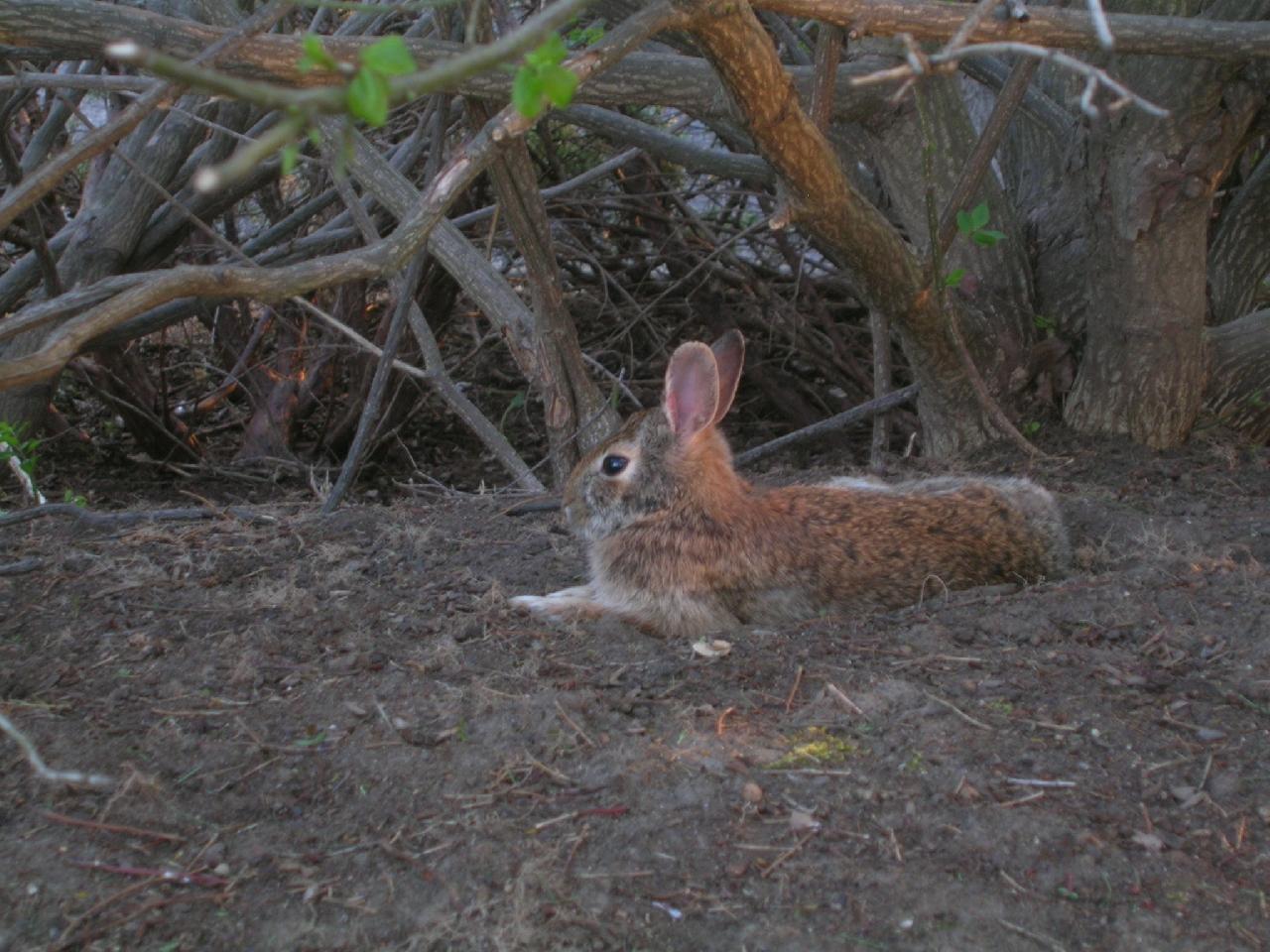 rabbit under bush