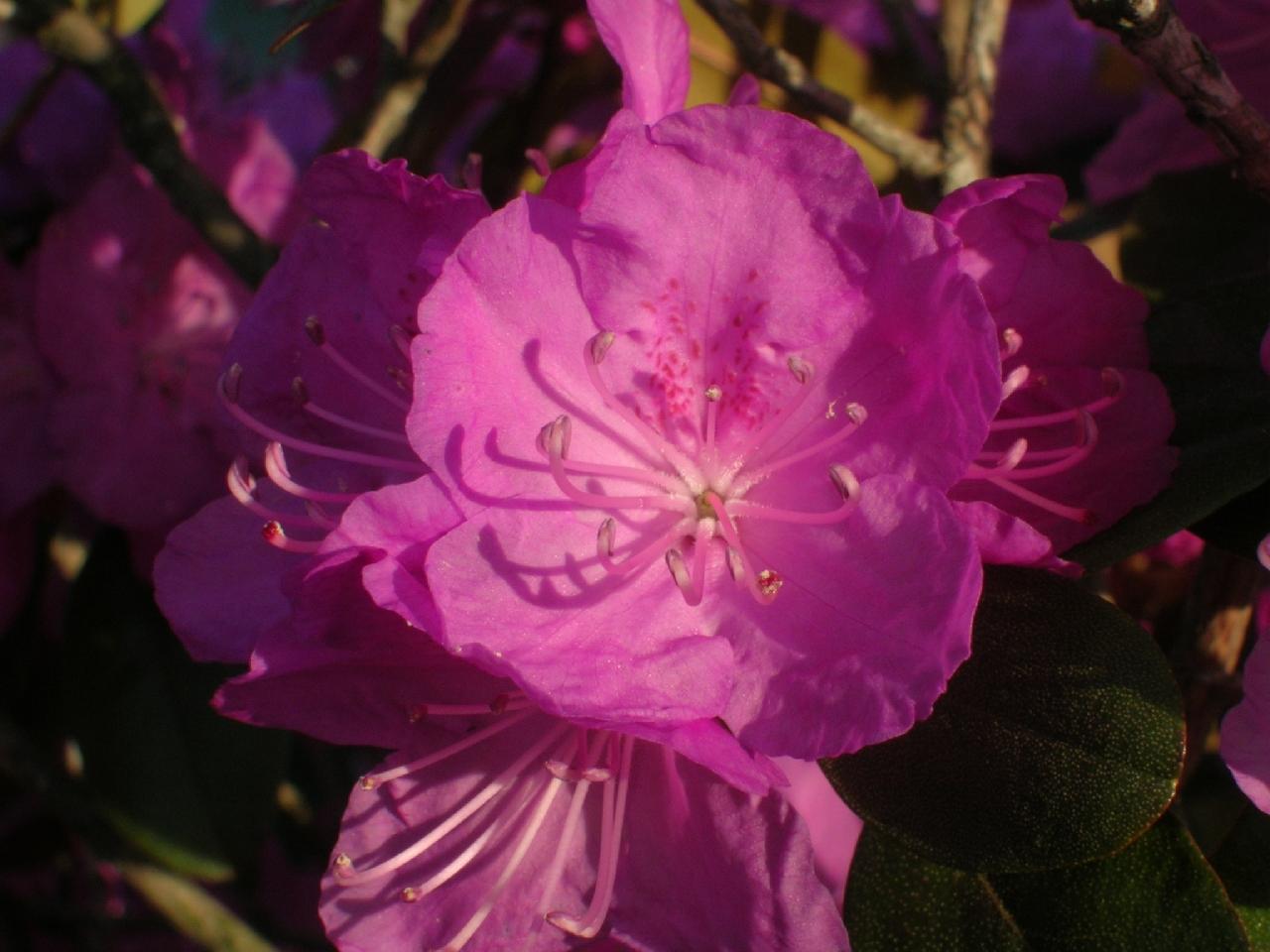 fuchsia flower 2